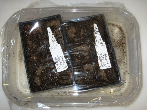Perfekta germination 1-03-2012 E