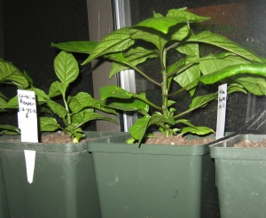Pepper, Carolina Reaper 2-18-2013