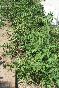 Michael's Portuguese Monster plant 7-21-2013 C