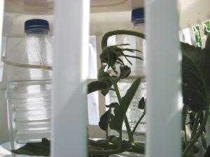 Michael's Portuguese Monster plant 7-21-2013 I