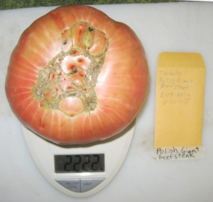 Polish Giant Beefsteak (2.222 DT 2013) B rev