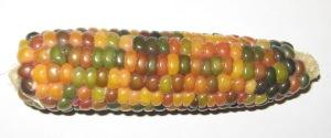Corn, Glass Gem ZZZ rev