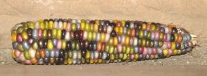 Corn, Glass Gem ZZZR rev
