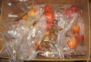 Tomato seed processing Nov 2013 C