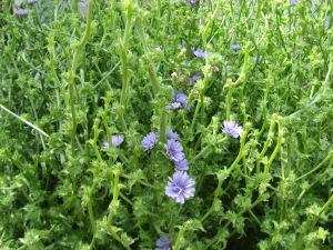 Frisée flowering 5-28-2014 A