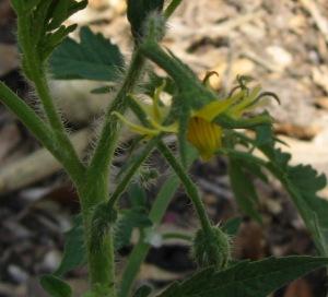 MegaMarv (2.678 DT 2012) blossom A00B rev