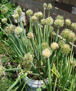 Onion, bunching 5-28-2014
