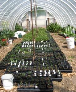 Seedlings High Tunnel 5-8-2014