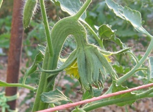 Belmonte (1.556 DT 2011) 5X blossom 6-29-2014 C