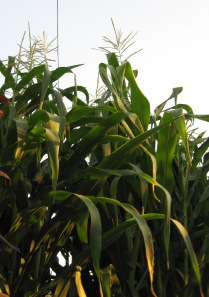 Glass Gem Corn Stalks 10'3in 7-25-2014 E rev