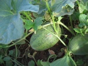 Melon, Ananasnaya 7-15-2014 A
