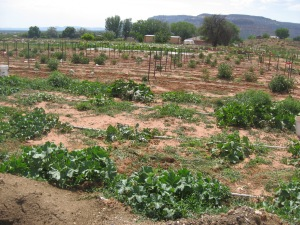 Tomato and Melon Patch Kanab 7-17-2014 B
