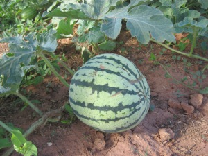 Watermelon, Ultra Skorospelyi 7-15-2014 C