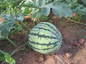 Watermelon, Ultra Skorospelyi 7-15-2014 C