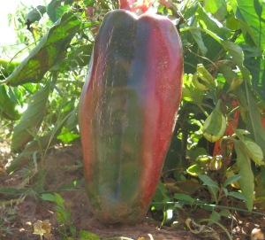 Pepper, Big Bertha (0.900 DT 2014) B