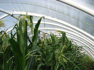 Corn, Breeder's Choice, tall tassel B