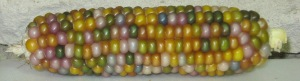 Corn, Glass Gem (DT 2014) AAJ rev