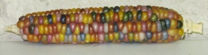 Corn, Glass Gem (DT 2014) AAP rev2