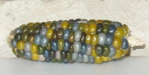 Corn, Glass Gem (DT 2014) ABA rev