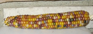 Corn, Glass Gem (DT 2014) ABG rev