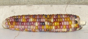Corn, Glass Gem (DT 2014) ABJ rev
