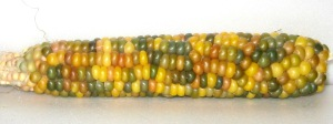 Corn, Glass Gem (DT 2014) ACG rev