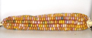 Corn, Glass Gem (DT 2014) ACL rev