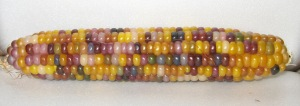 Corn, Glass Gem (DT 2014) ACY rev