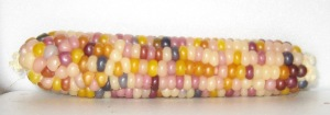 Corn, Glass Gem (DT 2014) ADS rev
