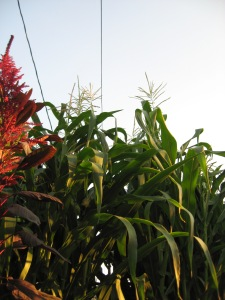 Glass Gem Corn Stalks 10'3in 7-25-2014 E