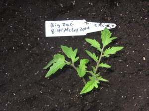 Big Zac (8.41 McCoy 2014) seedling sucker C