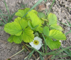 Early Strawberry blossom rev