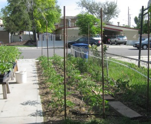 Giant Tomato Bed 6-4-2015 A
