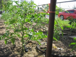 Giant Tomato Bed 6-4-2015 D