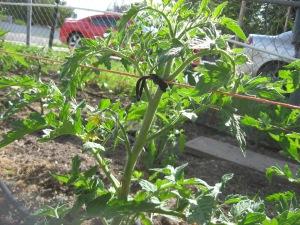 Giant Tomato Bed 6-4-2015 E