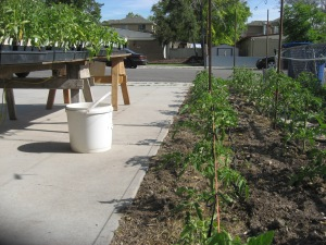 Giant Tomato Bed 6-4-2015 F