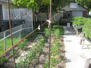 Giant Tomato Bed 6-4-2015 H