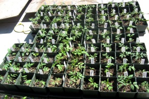 Seedlings, giant tomatoes 4-19-2015 A