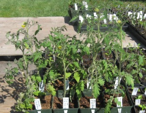 Seedlings, giant tomatoes 4-19-2015 B