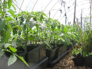 Tomato seedlings 5-7-2015 C