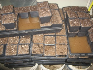 Seedling Production 4-21-2015 T