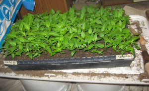 Seedling Production 4-21-2015 U