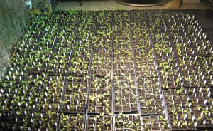 Seedling Production 5-2-2015 F