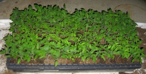 Seedlings 4-17-2015 B