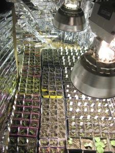 Seedling potting up metal halide mylar 4-3-2016 B