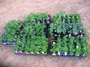 Dwarf Tomato Seedlings 4-21-2016 B