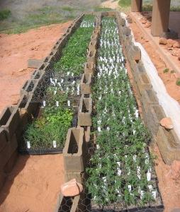 Kanab seedlings to transplant