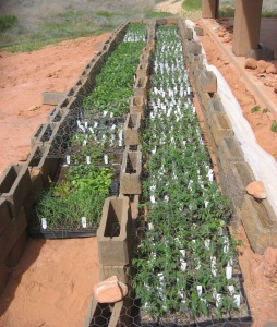 Kanab seedlings to transplant