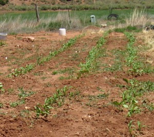 Corn Seedlings Kanab 6-16-2016 rev