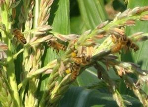 Honey Bees on corn tassles 7-28-2016 C rev2